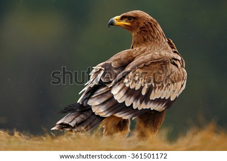 Steppe Eagle, Aquila nipalensis, sitting in the grass on meadow, forest in background, Norway - stock photo