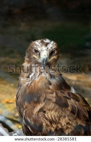 Steppe eagle Aquila rapax - stock photo