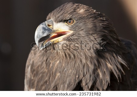 Steppe eagle bird of prey - stock photo