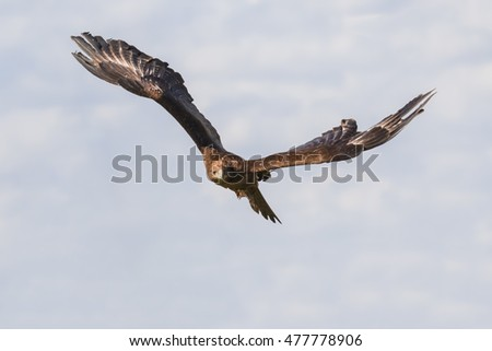 Steppe Eagle head on. A huge Steppe Eagle appears to fly straight towards the camera.