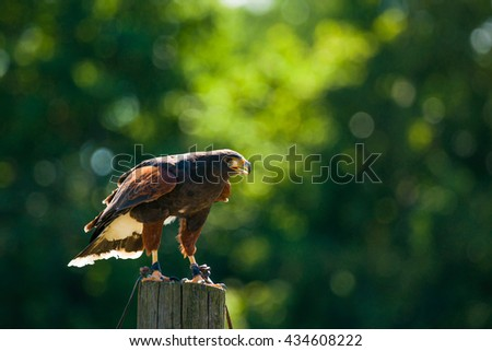 Steppe eagle on a wooden post looking for prey - stock photo