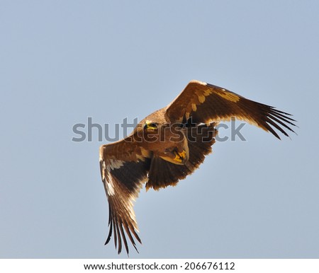 Steppe Eagle - showing wing spread