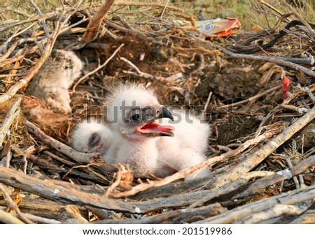 Steppe Eagle young chick in the nest. The rare bird Aquila nipalensis of prey protected species  - stock photo