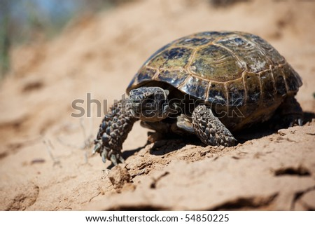 Steppe tortoise (Testudo (Agrionemys) horsfieldii) - stock photo