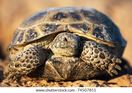 Steppe tortoise (Testudo (Agrionemys) horsfieldii) - stock photo