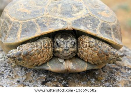 Steppe tortoise (Testudo (Agrionemys) horsfieldii) in its natural habitat, prairie, Kazakhstan - stock photo