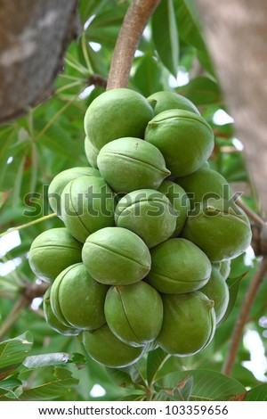 Sterculiaceae on tree,  (Biodiesel) - stock photo