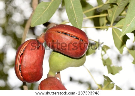 Sterculiaceae on tree, use for alternative energy ethanol and biodiesel. - stock photo