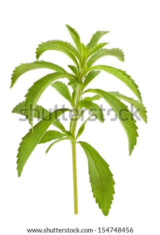 Stevia branch isolated on white