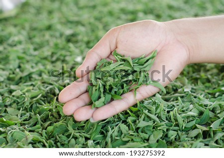 Stevia in hand - stock photo