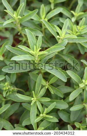 stevia plantation to industrial use - stock photo