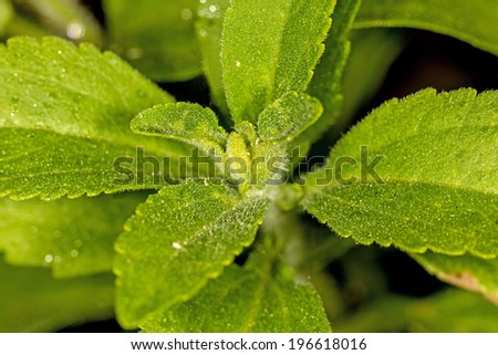 Stevia rebaudiana, support for sugar, closeup of the leaves - stock photo