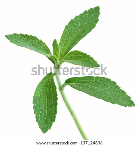 Stevia rebaudiana, sweet leaf sugar substitute on white background