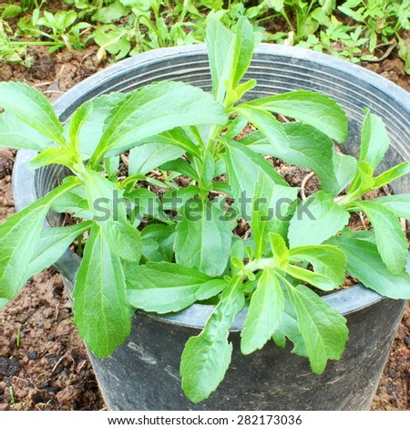 stevia sweetener herb closeup in container