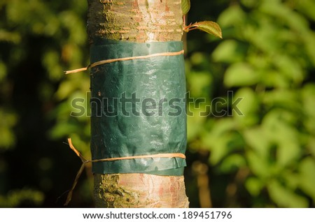 Sticky glue band tied around the trunk of a tree to prevent crawling insects, particularly ants which protect aphids from their predators, and the caterpillars of winter moths from colonizing the tree - stock photo