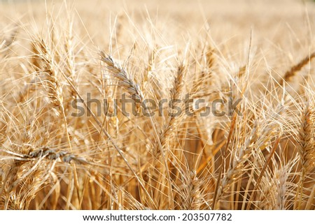 Still life detail of a large field of wheat crops growing in a healthy and thriving farmers field during a breeze sunny summer day. Food resources growing in abundance the countryside. - stock photo