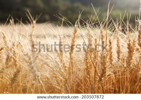 Still life detail view of a large field of wheat crops growing in a healthy and thriving farmers field during a breeze sunny summer day. Food resources growing in abundance the countryside.