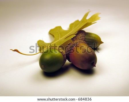 Still life of acorns on white background. - stock photo