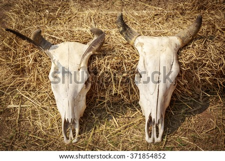 Still life skull of cow on dry straw background. - stock photo