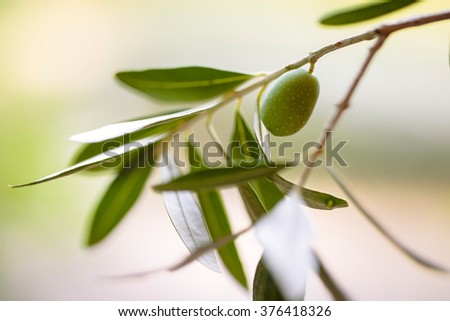 Still Life with Fresh green Olives harvested from Tree on Italian Farm - stock photo
