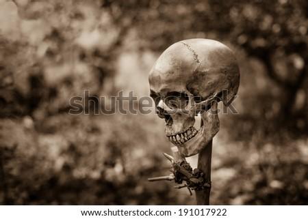 Still life with human skull on bamboo stick - stock photo