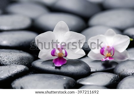 Still life with two white orchid on black pebbles