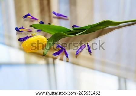 Still life with yellow spring tulip and purple iris petals - stock photo
