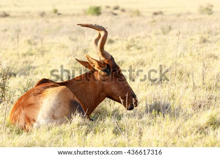 Still Sleeping - Alcelaphus buselaphus caama - The red hartebeest is a species of even-toed ungulate in the family Bovidae found in Southern Africa.
