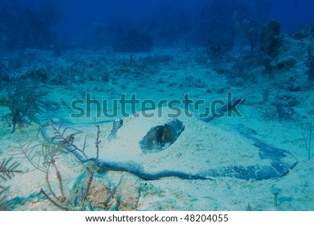 Sting Ray resting on the ocean floor