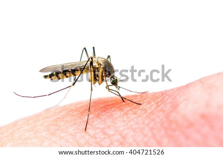Stinging Yellow Mosquito on White - stock photo