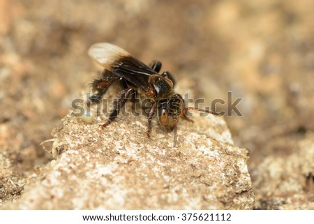 Stingless bee - stock photo