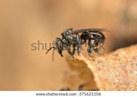 Stingless bee Heterotrigona Itama - stock photo