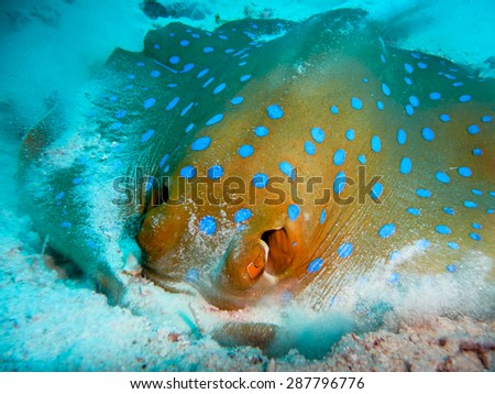 Stingray blue hoops, Indian Ocean, Maldives - stock photo