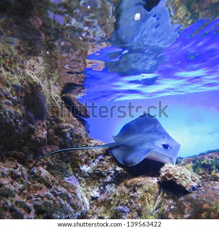 Stingray swimming on tropical coral reef - stock photo