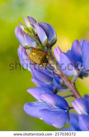 Stink bug and Lupinus polyphyllus