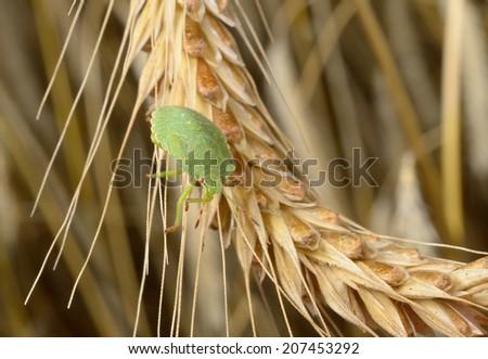 stink bug nymph in rye field - stock photo