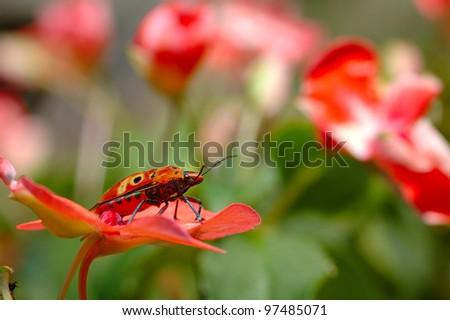 Stinkbug (Cantao ocellatus) - stock photo