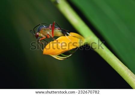 Stinkbug On Flower  - stock photo