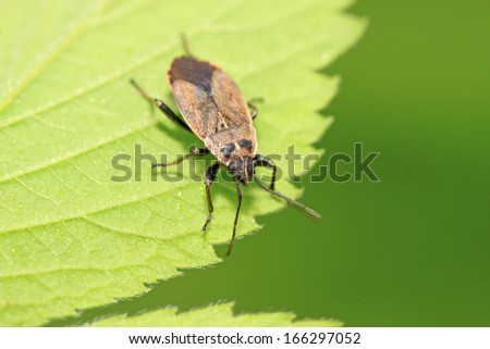 stinkbug on green leaf in the wild