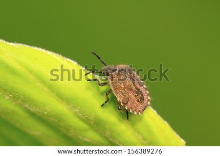 stinkbug on green leaf in the wild natural state