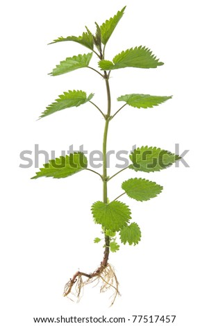 Stinking nettle (Urtica dioica) all plant and with root, on white background. - stock photo