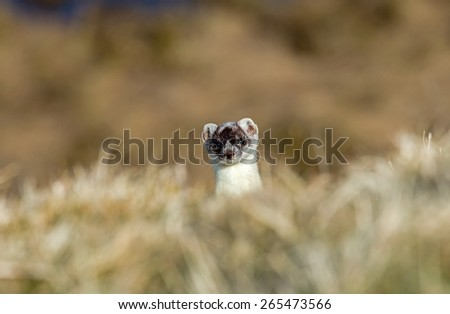 Stoat peeping over crest of hill, still in partial white winter coat. - stock photo