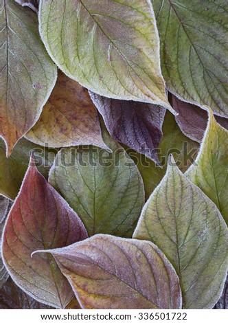 Stock image of beautiful frosty leaves background. - stock photo