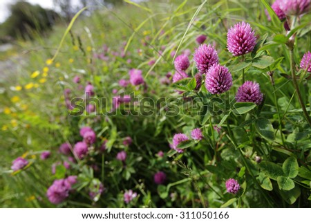 Stock image: three-leaf clovers at warm summer day at meadow in sunlight. - stock photo