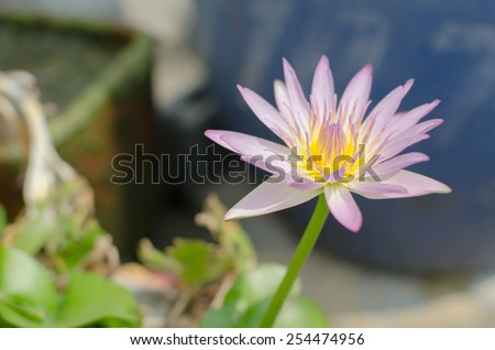 stock photo lotus colorful with pink yellow green shade, focus on center pollen and blur other object - stock photo