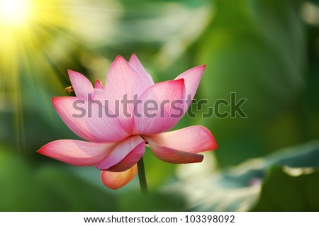 Stock Photo: lotus flower blossom - stock photo