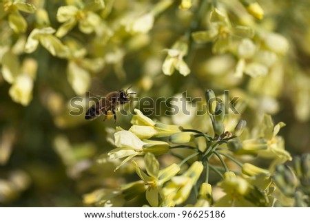 Stock photo of a European Honey Bee (Apis mellifera) flies to a new flower while foraging for nectar on a yellow Broccoli flower, with pollen adhereing to its legs.