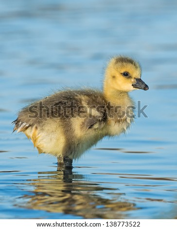 Stock photo of a single Canada goose gosling standing in the water with water droplets on his feathers on a sunny afternoon in Denver, Colorado. - stock photo
