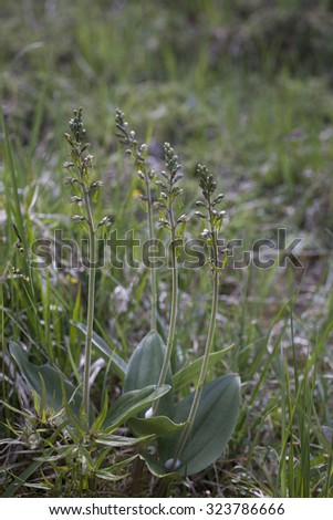 Stock photo of Common Twayblade Orchid (Neottia ovata, formerly N. Listera). Photographed at Helgeland, Nordland, Norway.  - stock photo