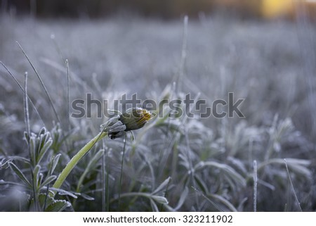 Stock photo of dandelion flower head at frosty morning at early spring.  - stock photo